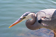 Ben and Raisa Gertsberg - Portrait Of Great Blue Heron